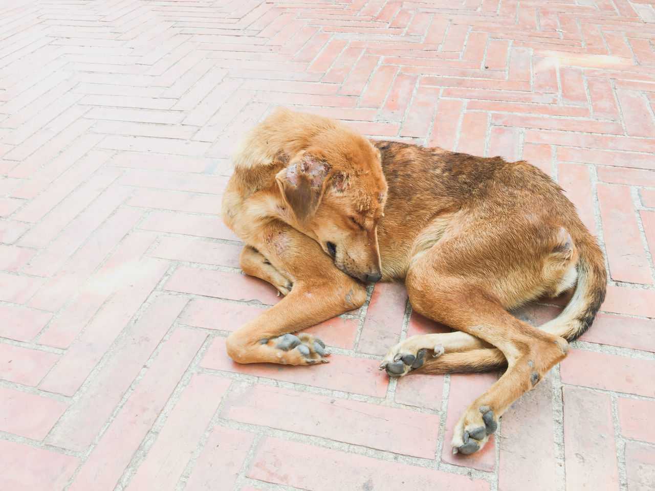 Animal Themes Day Dog Dog Skin Scabs Domestic Animals Lying Down Mammal No People Old Dog One Animal Outdoors Pets Scab Sick Sleeping