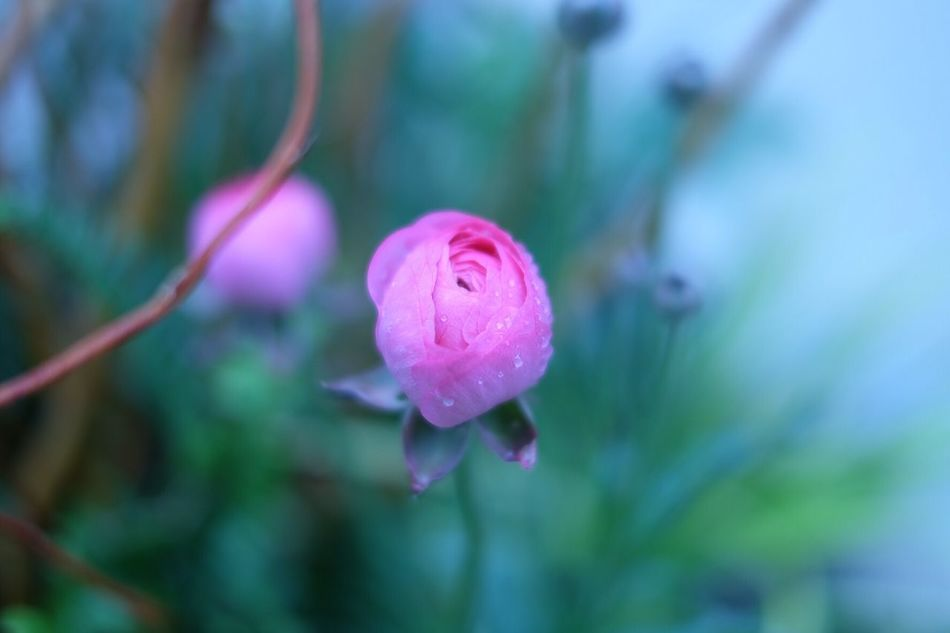 Flower Pink Nature Dew Drops Why Are You So Beautiful Fujixa2 Lovely