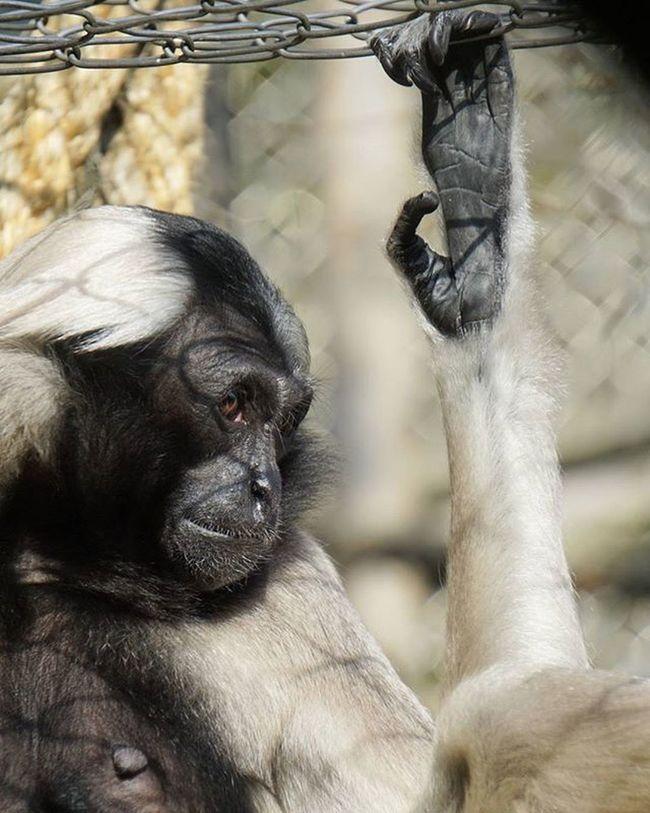 Langur Monkey Captivity Captive Zoo Zürich Zürichzoo