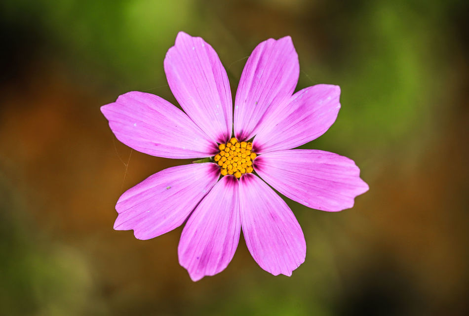 Off season, farmer feed the field by plant wildflowers Beauty In Nature Blooming Butterfly Flower Close-up Cosmos Flower Day Flower Flower Head Flowers Field Focus On Foreground Fragility Freshness Nature No People Off Season Outdoors Petal Pink Color Plant Pollen Taiwan Wildflowers Winter