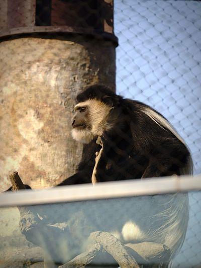 アビシニアコロンブスさんって、意外とイケメン? surprisingly it twink? Monkey Animals EyeEm Animal Lover Zoo Zoo Animals  Animal_collection Snapshot Taking Photos Enjoying Life Nature