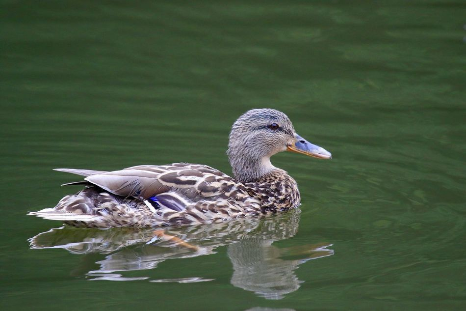 Beautiful stock photos of duck, Animal Themes, Animal Wildlife, Animals In The Wild, Bird