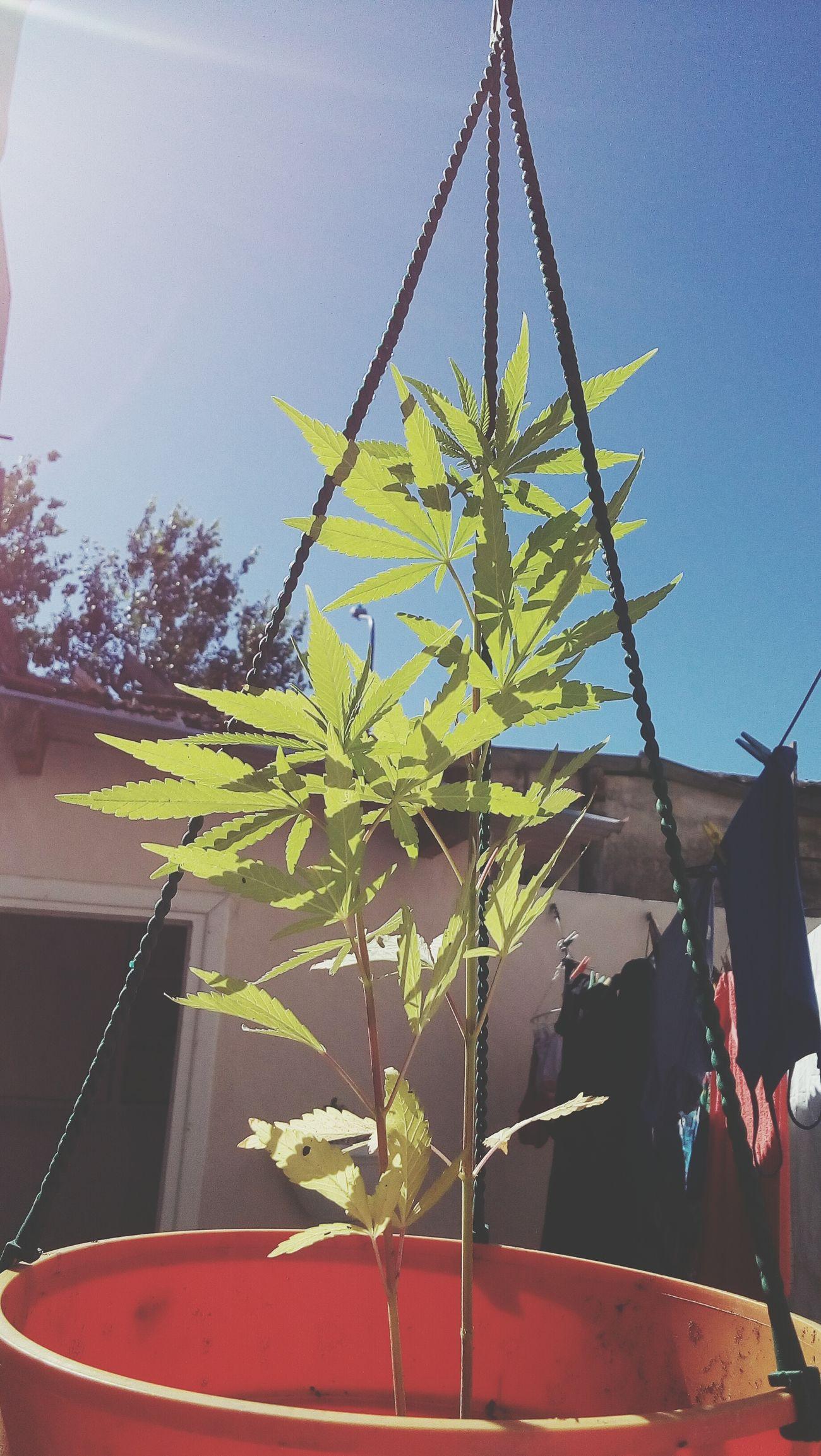 Thelmaandlouise Plants Weed Green Sky