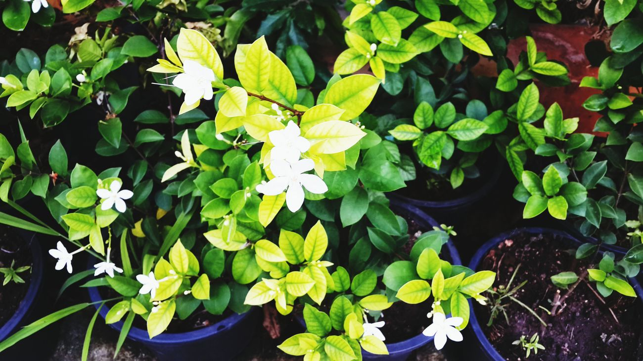 Leaf Growth Plant Green Color Nature Freshness Flower Fragility Beauty In Nature Outdoors Flower Head No People Day Close-up Water Jasmine Flower Jasmineflowers