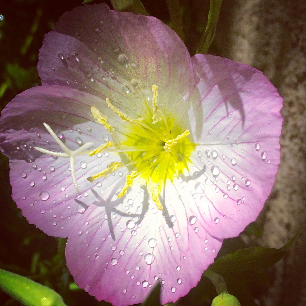 Beauty In Nature Close-up Day Drop Flower Flower Head Fragility Freshness Growth Macro Mexican Primrose Nature No People Outdoors Petal Pink Flower Plant Primrose RainDrop Water Wet