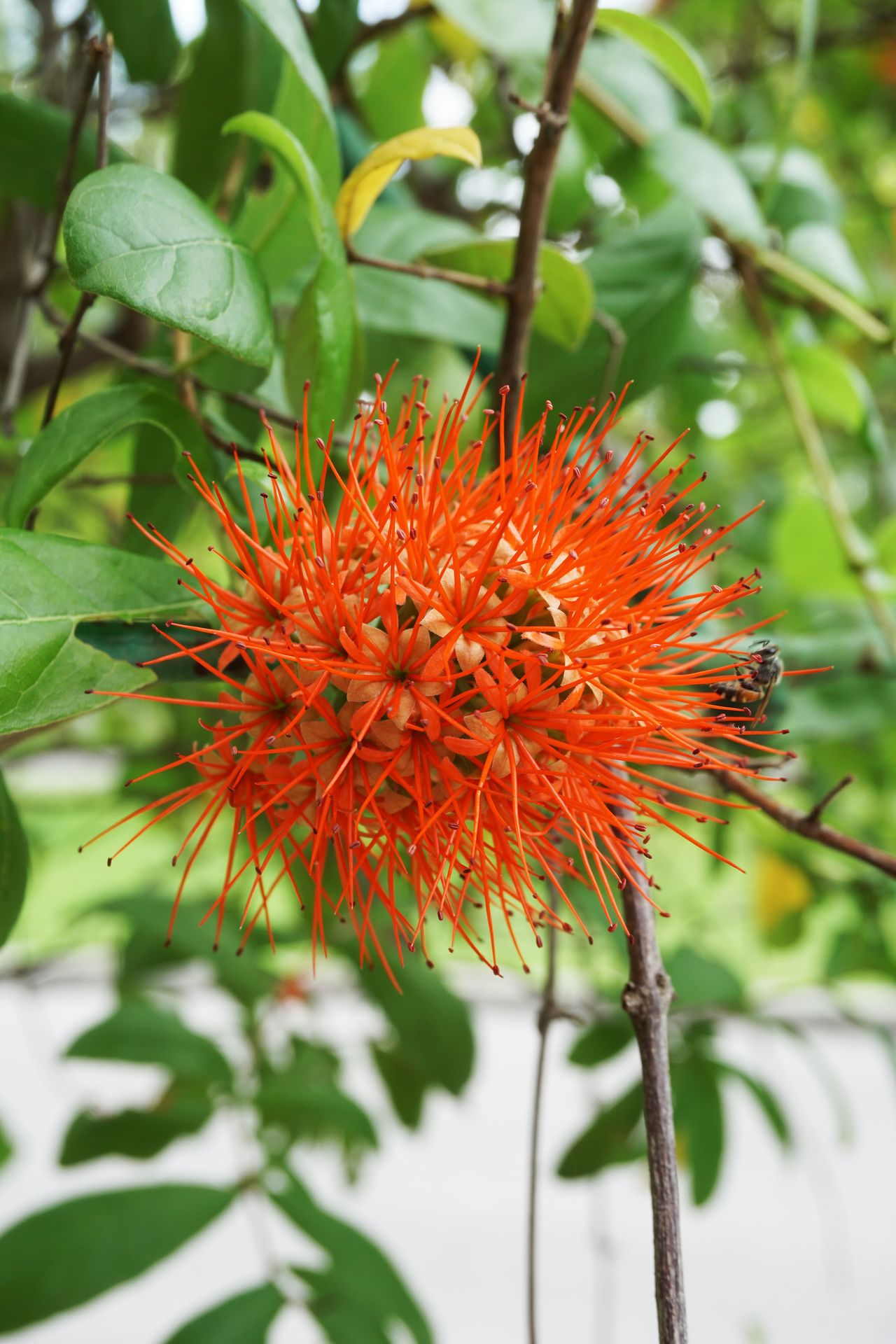 Beauty In Nature Bloom Blooming Blossom Bush Willow Close-up Combretaceae Combretum Erythrophyllum Day Flower Flower Head Focus On Foreground Fragility Freshness Green Color Growth Leaf Nature No People Outdoors Petal Plant Pollen Red