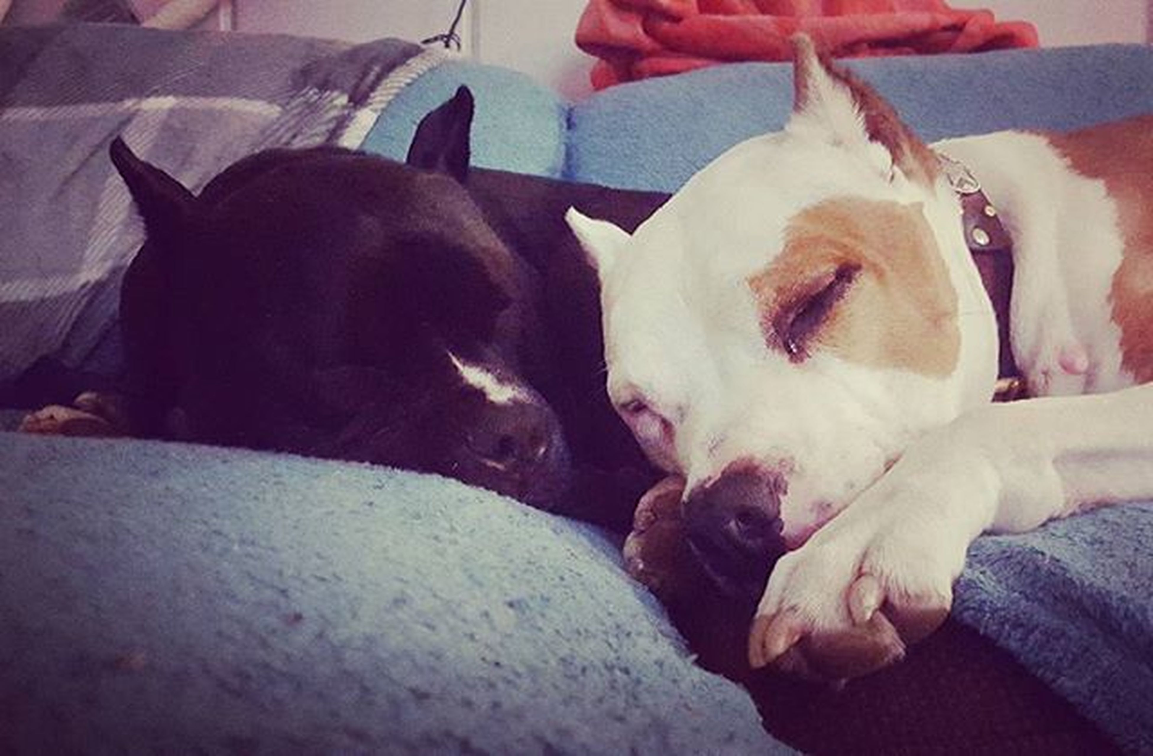 domestic animals, mammal, animal themes, pets, one animal, dog, indoors, relaxation, sleeping, resting, lying down, two animals, eyes closed, home interior, close-up, animal head, bed, togetherness, zoology, vertebrate