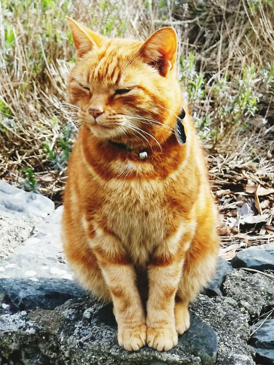 Cat Ginger Proud Sitting Pretty Welsh Cat