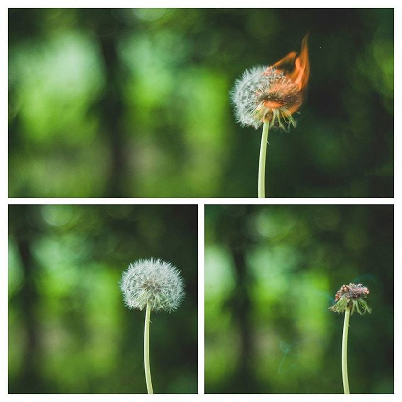 flower, dandelion, fragility, freshness, flower head, growth, focus on foreground, stem, beauty in nature, close-up, nature, wildflower, transfer print, plant, auto post production filter, petal, blooming, softness, single flower, day