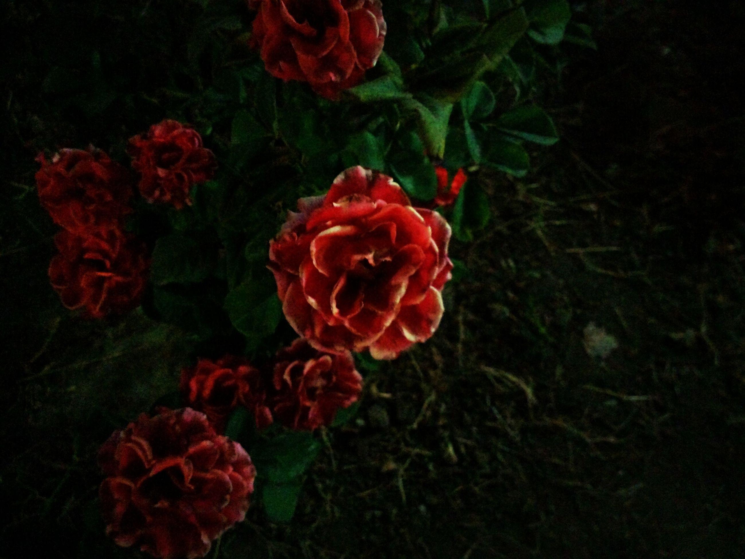 flower, red, petal, freshness, fragility, flower head, growth, beauty in nature, rose - flower, plant, close-up, nature, blooming, rose, black background, studio shot, in bloom, leaf, orange color, stem