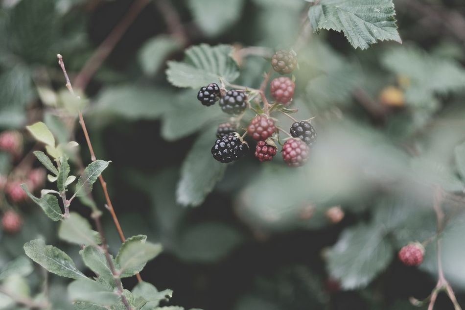 Ute i skogen Beauty In Nature Berry Berry Fruit Björnbär Blackberry Eyeem Nature Forest Fujifilm Fujinon Natur Nature No People Outdoors Skogen Sommartid Sotenäs Summertime Svensk Natur Sweden Swedish Nature Taking Photos Woods XF56mm Xpro2 Xshooter