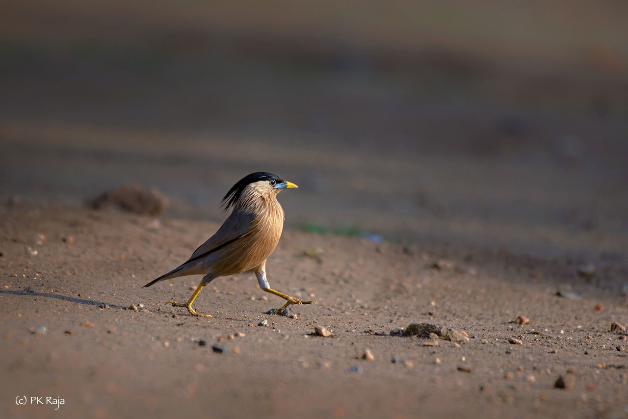 Seems to be a busy day for him Beauty In Nature Bird Birds Brahminy Starling BusyDay😾😼 Mission On Task