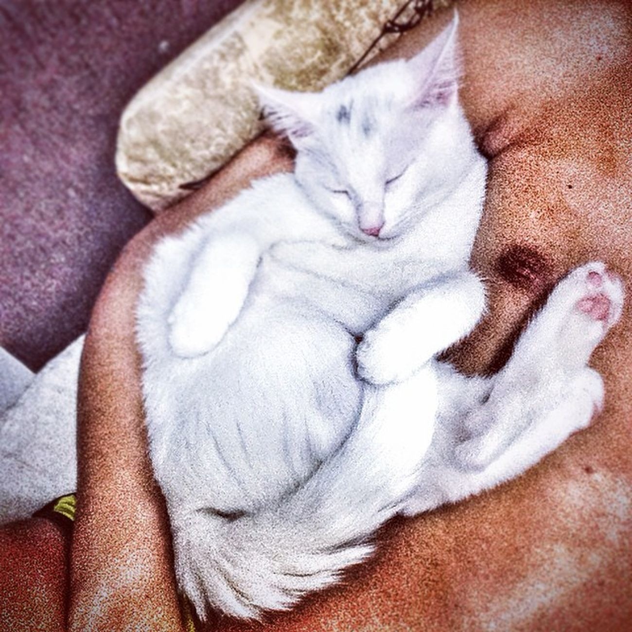 Hora de dormi! Evalima 4evertt Cat Pet gatobranco gato gatos whitecat