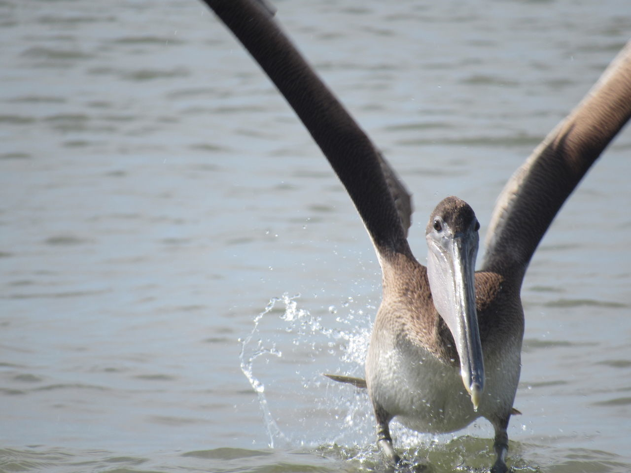 The Brown Pelican Animal Behavior Animal Themes Animals In The Wild Avian Bird Close Up Day Focus On Foreground Long Beak No Edits No Filters No People Non-urban Scene Ocean View Outdoors Splashes Of Water Splashing Spreading Wings Tranquility Water Water Bird Wildlife Zoology