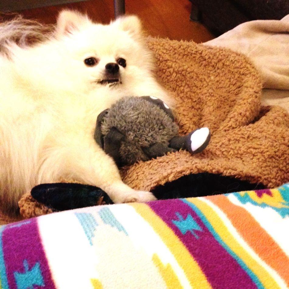 Pomeranian I Love My Dog Dog Korosuke