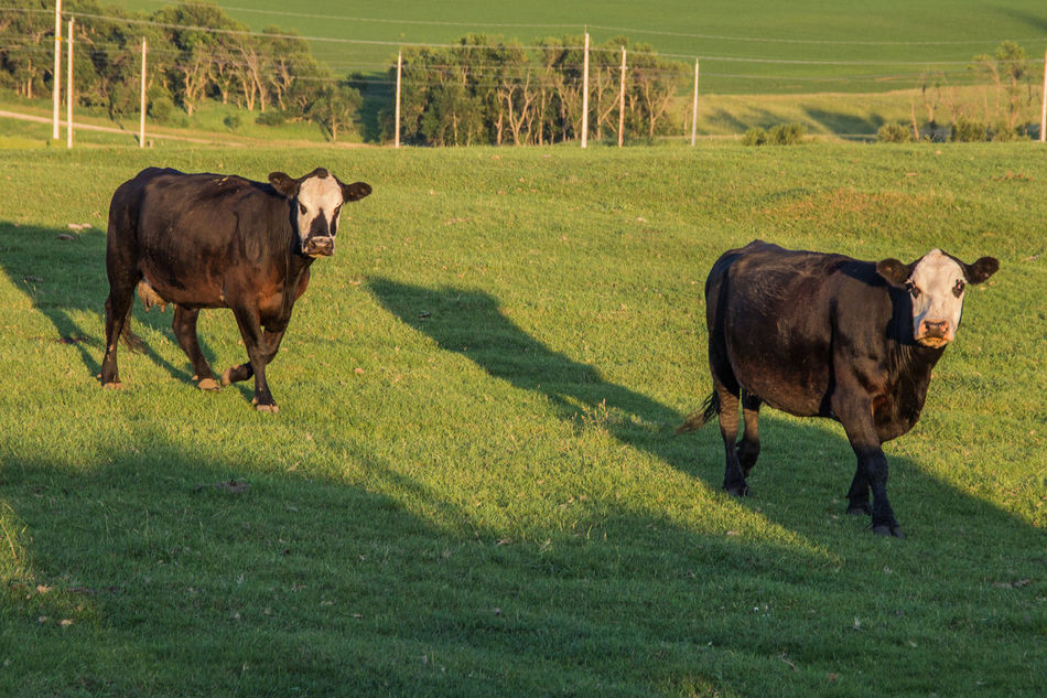 Agriculture Animal Beef Cattle Black Black Angus Canon60d Canonphotography Cattle Cow Day Domestic Animals Farm Farm Animal Grass Grassland Green Hill Livestock Outdoors Pasture Ranch Shadow Summer