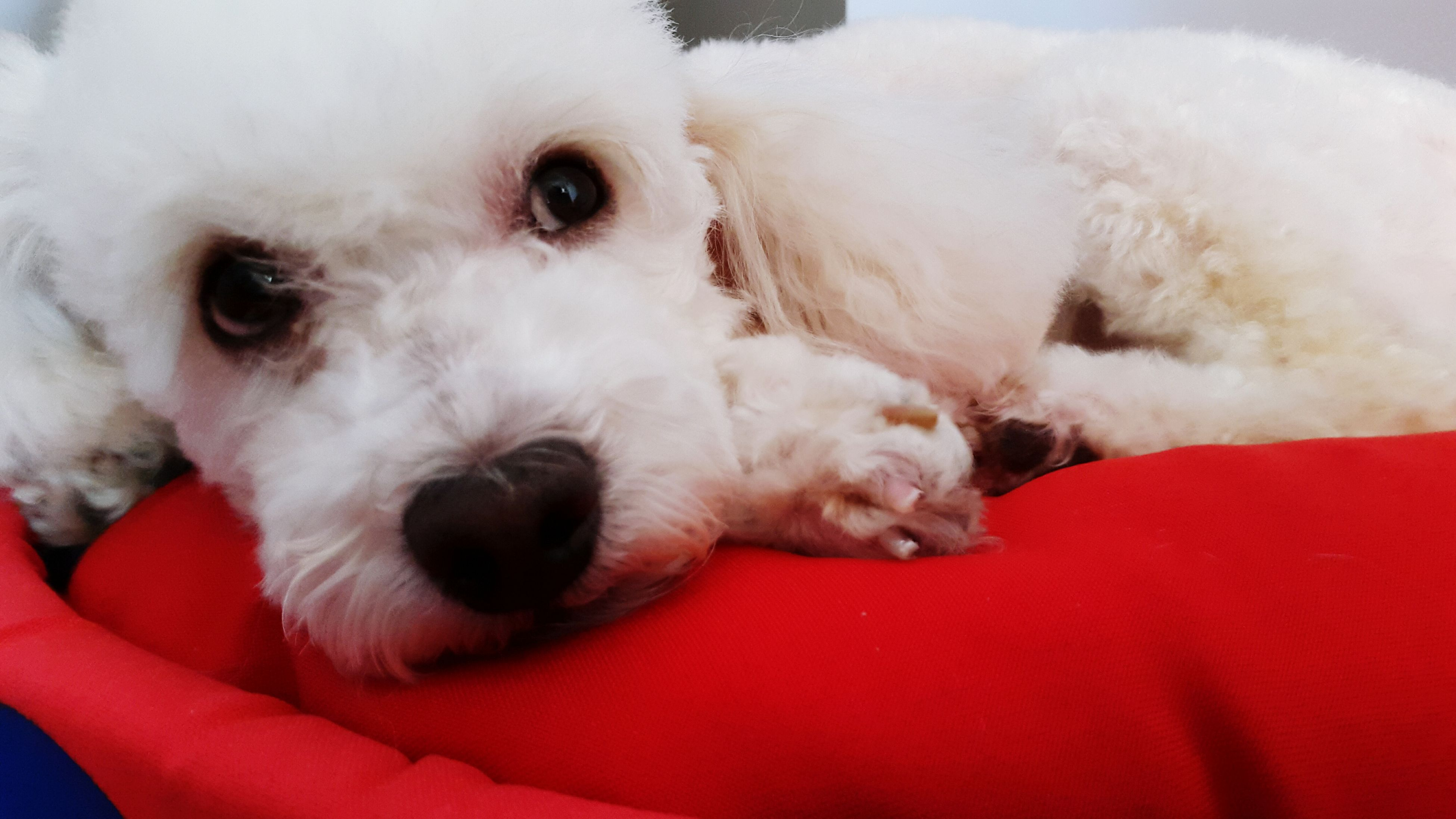 pets, domestic animals, animal themes, dog, one animal, mammal, indoors, portrait, looking at camera, relaxation, close-up, animal head, white color, lying down, cute, red, resting, bed, sofa, home interior