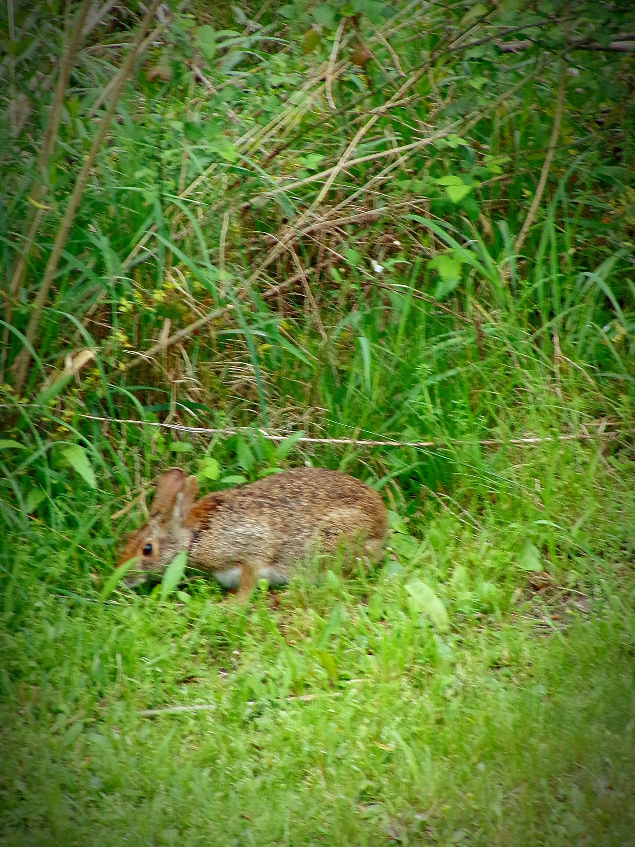 Petercottontail Animals In The Wild Grass Green Color One Animal Nature Animal Wildlife No People Outdoors Day Beautyinnature  Tranquil Scene Tranquility Eyeemnaturelover Nature I💗Rabbits Springtime Full Length