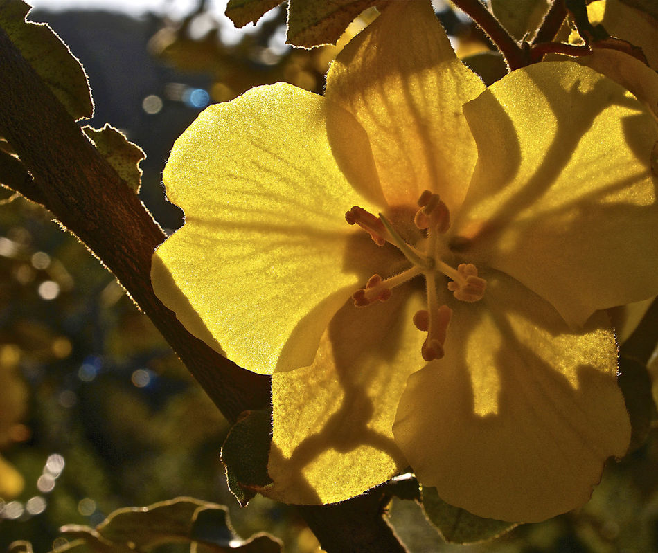 Close-up Flower Fremontia Irritating Hairs Jewels In The Dark No People Rich Colors Shrub Tree Yellow