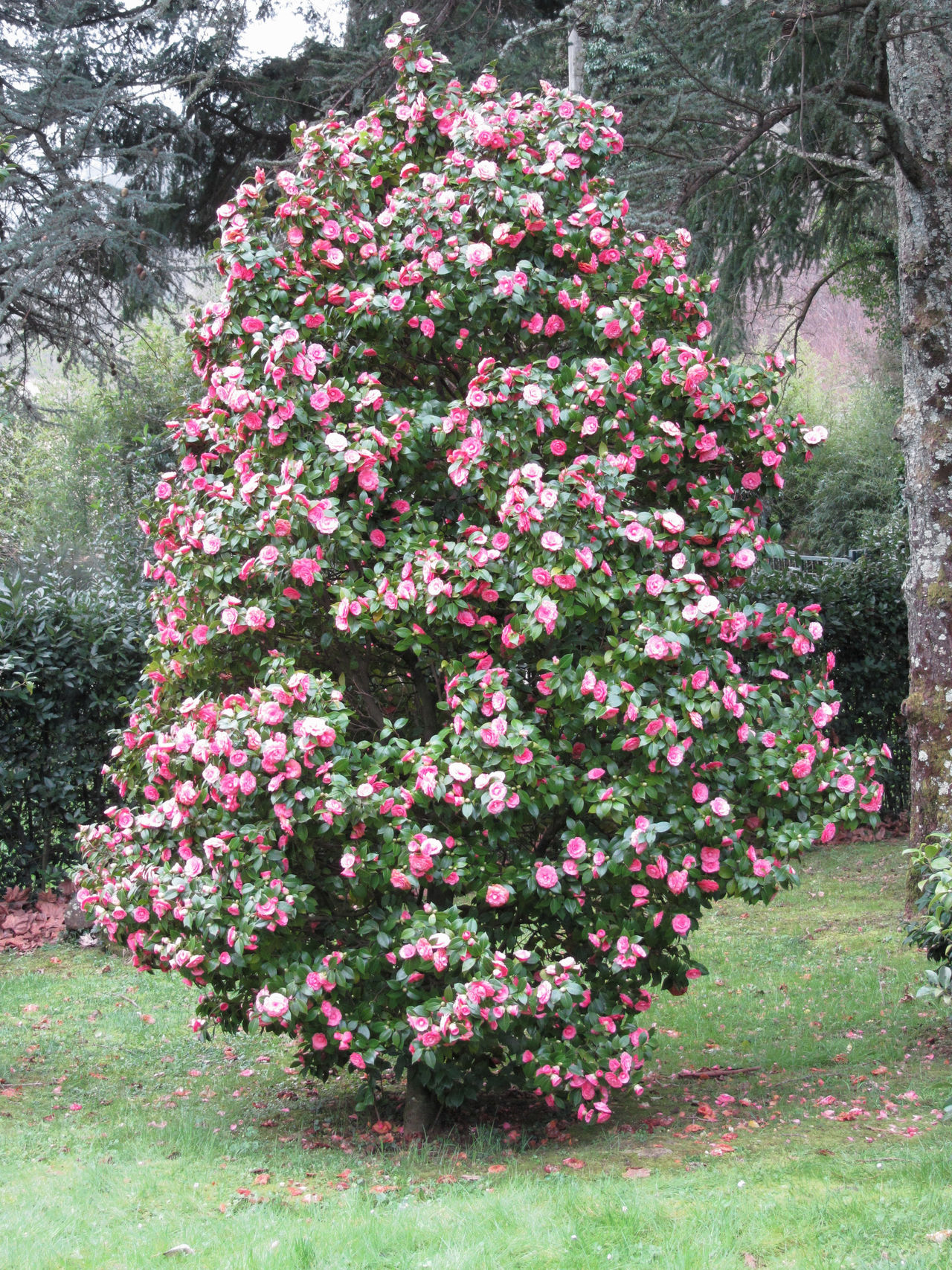 Ancient japanese cultivar of Camellia japonica flower . Evergreen shrub Ancient Anniversary Bloom Blooming Blossom Bush Camelia Camellia Camellia Japonica Celebration Cultivar Decorative Evergreen Flower Japanese  Ornamental Petal Plant Red Romantic Shrub Spring Theaceae Tree Wedding
