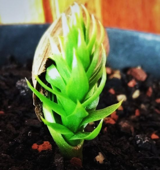 Green Color Plant Nature Close-up Pinheiro Growth Araucaria Outdoors Beauty In Nature