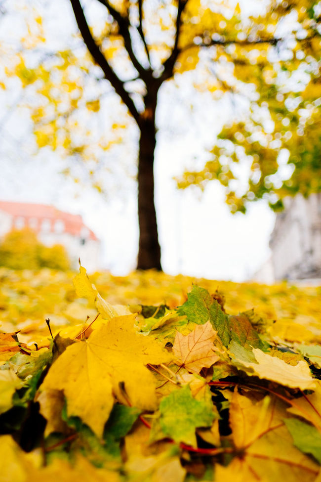 Autumn Beauty In Nature Branch Change City Close-up Day Fragility Growth Herbst Leaf Maple Maple Leaf Nature Nature No People Outdoors Scenics Sky Tranquility Tree Tree Yellow