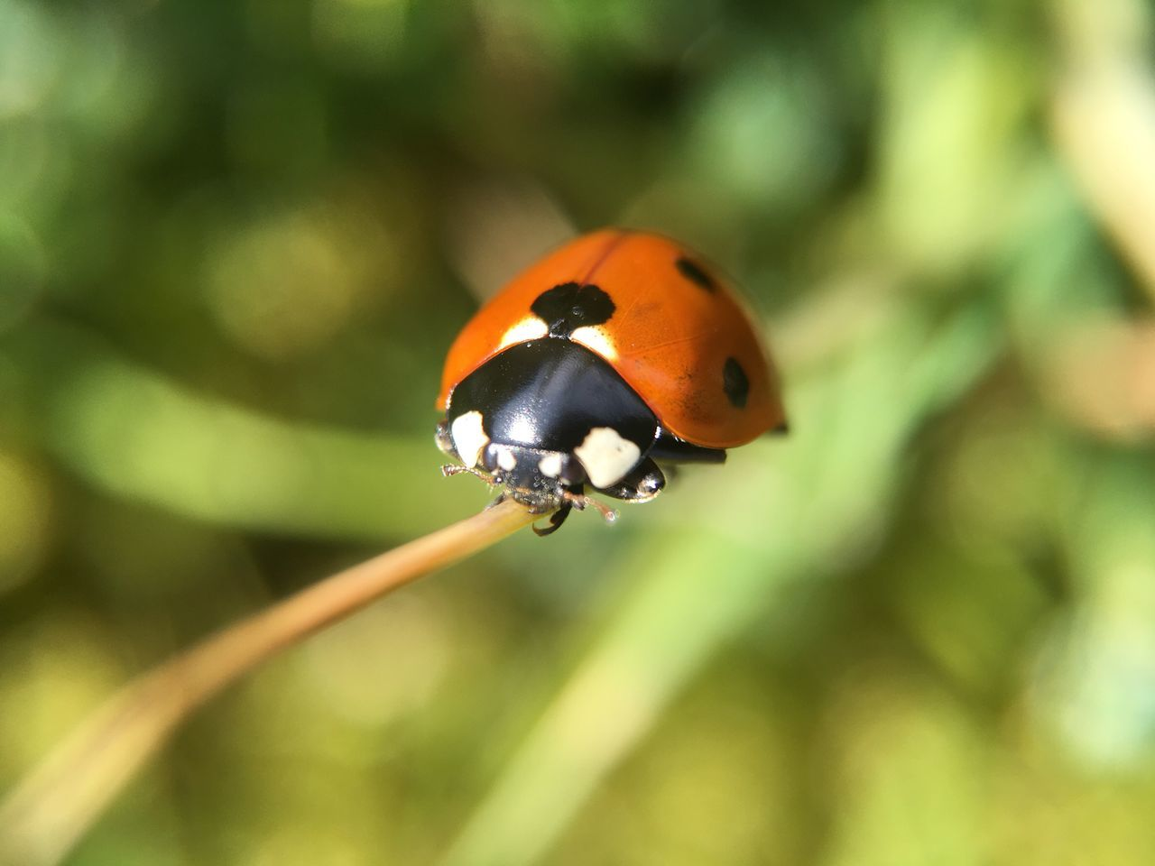 Insect Ladybug Close-up Olloclip_macro No Filter Grass Grassland Green Color Macro Photography Macro Insects  Insect Photography Blade Of Grass Climbing Ladybug🐞 Ladybugmacro Ladybugs Photography