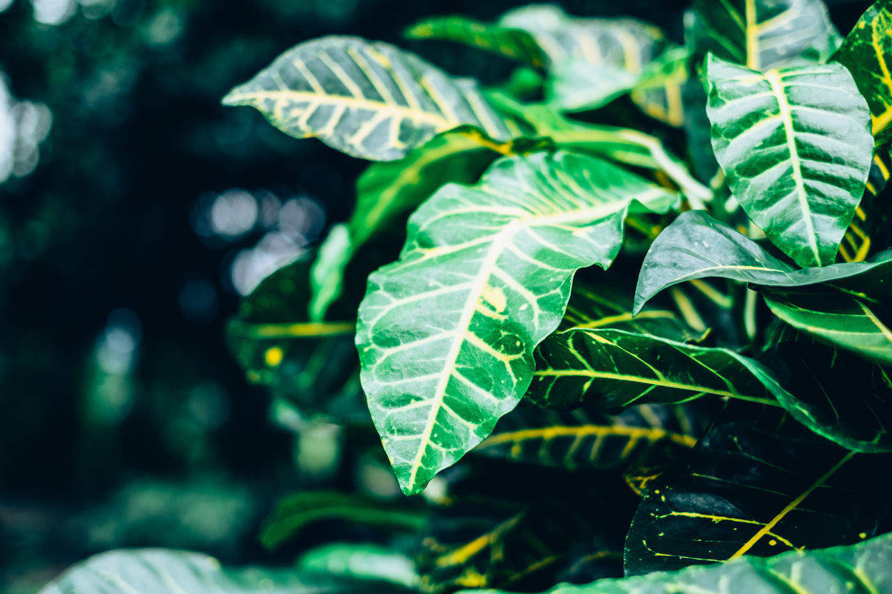 Beauty In Nature Bokeh Botany Close-up Copy Space Croton Day Euphorbiaceae Foliage Fragility Freshness Gardening Green Color Growth Leaf Nature Outdoors Plant Selective Focus Backgrounds Yellow