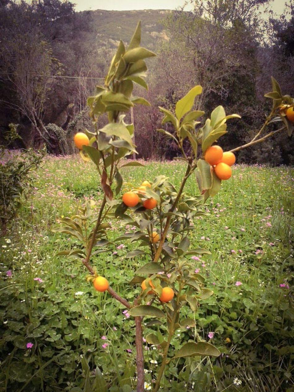 Flowers,Plants & Garden Fruits Koumkouat