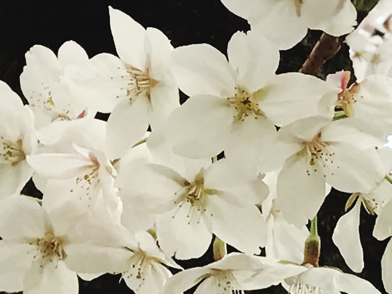 White Color Flower Growth Flower Head Beauty In Nature Freshness Spring Flowers Springtime Flowers,Plants & Garden Flowers, Nature And Beauty Flower Photography Flower Collection Petal Blossom Flowers 🌸🌸🌸 Flower Of Eyeem Nature Photography Naturelovers Nature Collection Nature Lover