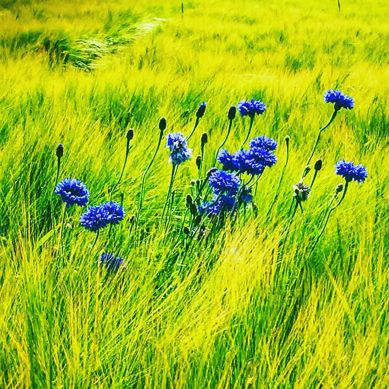 Hello World Beauty In Nature Cornflower Cornflowers Corn Beautiful Nature Nature