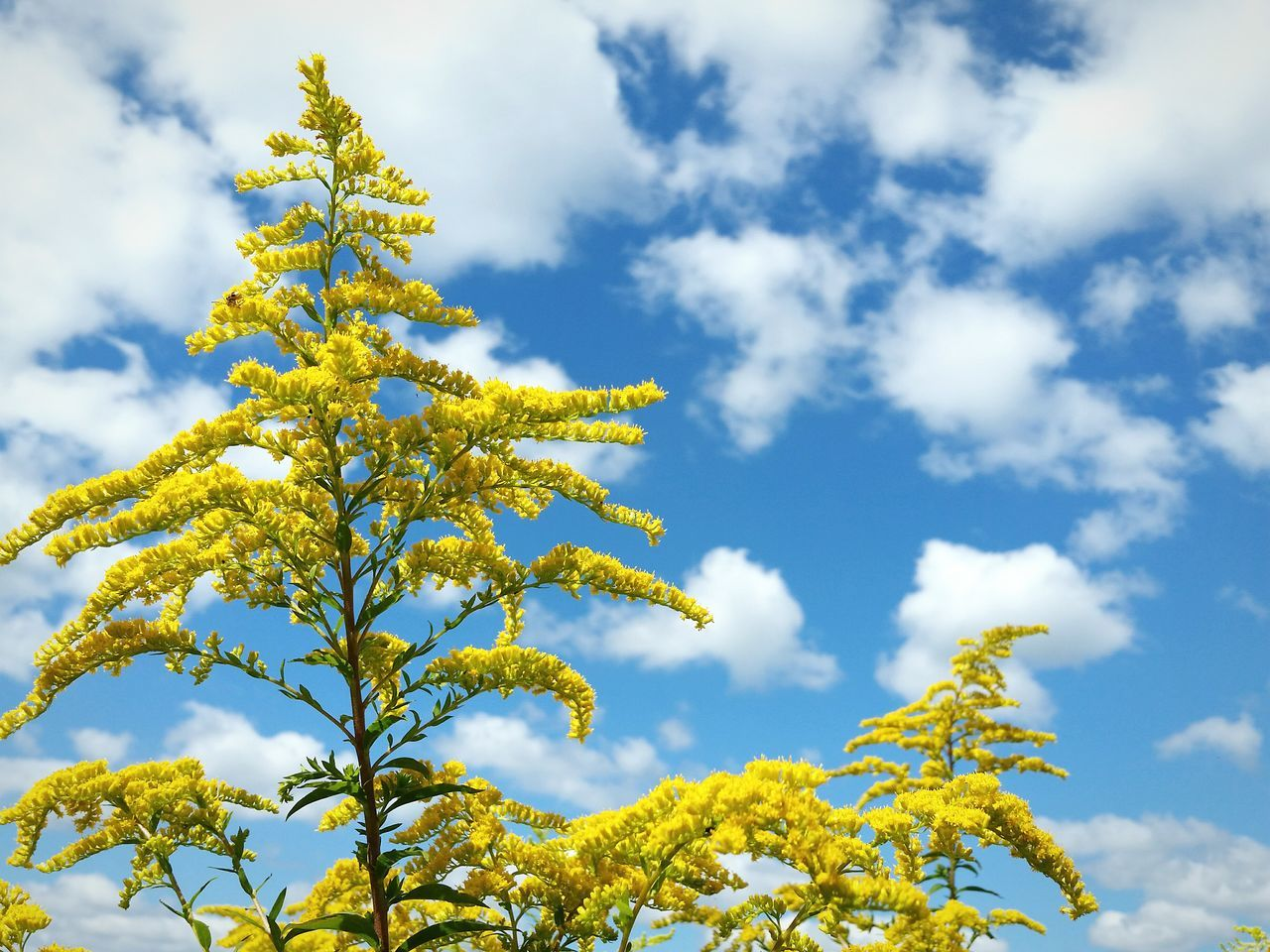 Good morning Low Angle View Sky Yellow Flower Goldenrod Cloud - Sky Nature Cloud Scenics Beauty In Nature Majestic Tranquility Day Blue Outdoors No Filter End Of Summer Autumn The EyeEm Collection