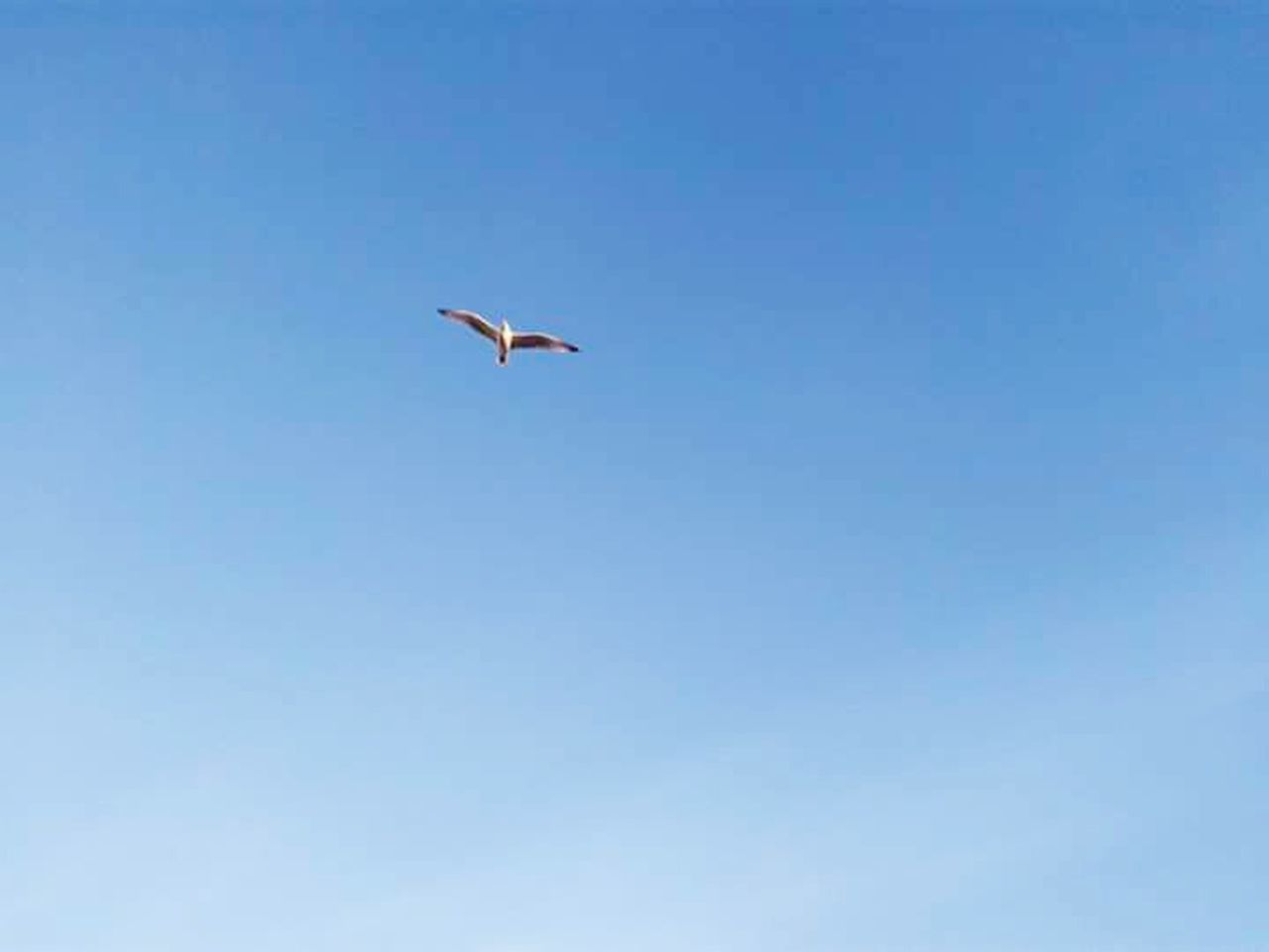 bird, animals in the wild, one animal, animal themes, flying, animal wildlife, low angle view, mid-air, nature, spread wings, day, clear sky, blue, no people, outdoors, beauty in nature, sky