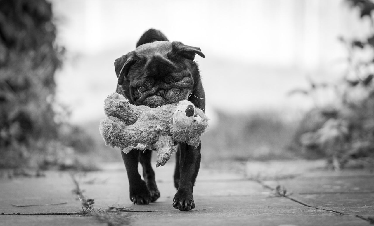 Teddy bear One Animal Dog Animal Themes Domestic Animals Focus On Foreground Mammal Pets Outdoors Day Full Length Pug Pug Life  Black Pug Dogs Of EyeEm Dog Love Pet Photography  Pets Corner Teddy Bear Blackandwhite Dogs