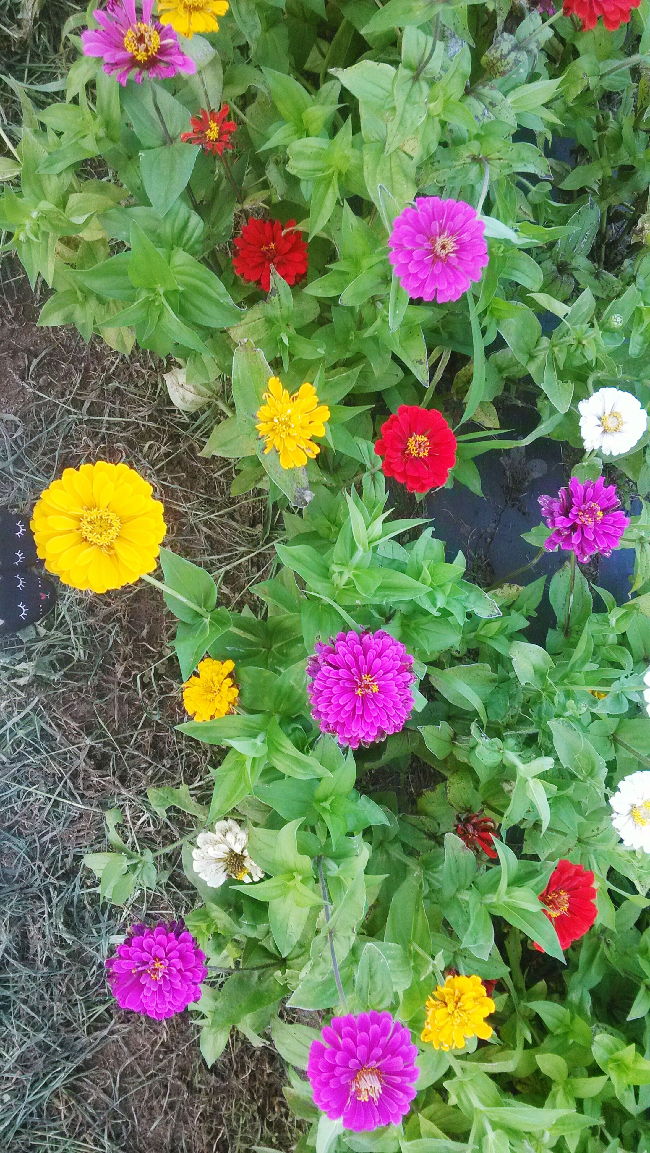 flower, freshness, growth, fragility, beauty in nature, petal, leaf, high angle view, plant, nature, green color, pink color, full frame, flower head, day, outdoors, multi colored, blossom, in bloom, blooming, springtime, botany, colorful, no people, formal garden, park, growing, tranquility, vibrant color