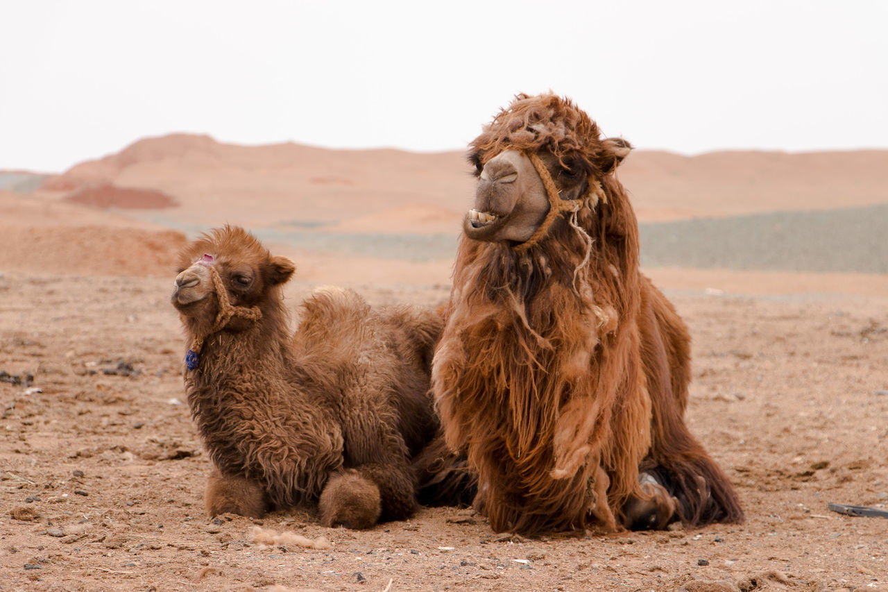 Beautiful stock photos of tierbabys, Animal Themes, Arid Climate, Camel, Close-Up