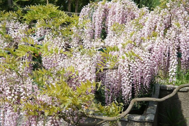 Wistaria Blossom Flower Garden Flowers Garden Flowers In Bloom Leaves Pink Wistaria Plant Purple Flowers Purple Wistaria Wistaria Blossom