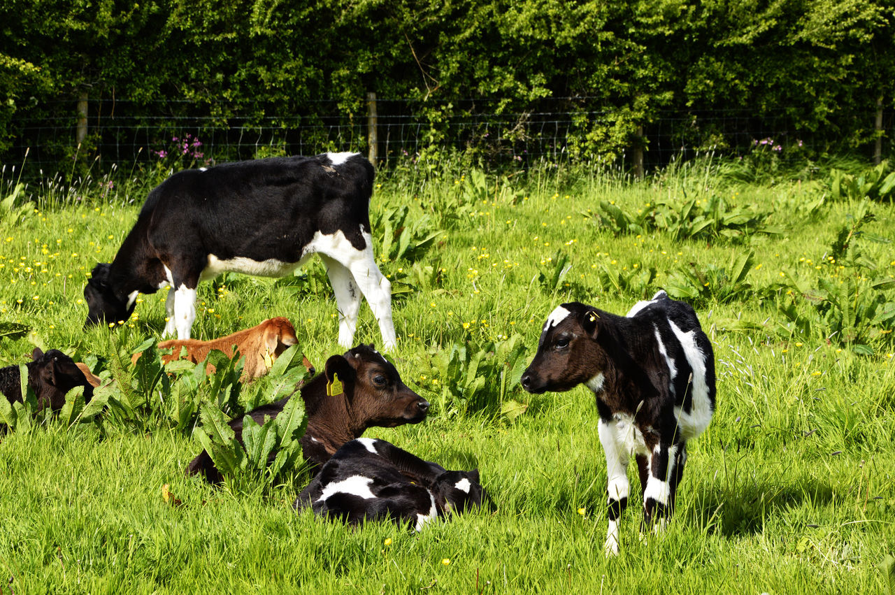 Calves Cattle Cows In A Field Field Grazing Cattle Pembrokeshire Sunny Day Wales