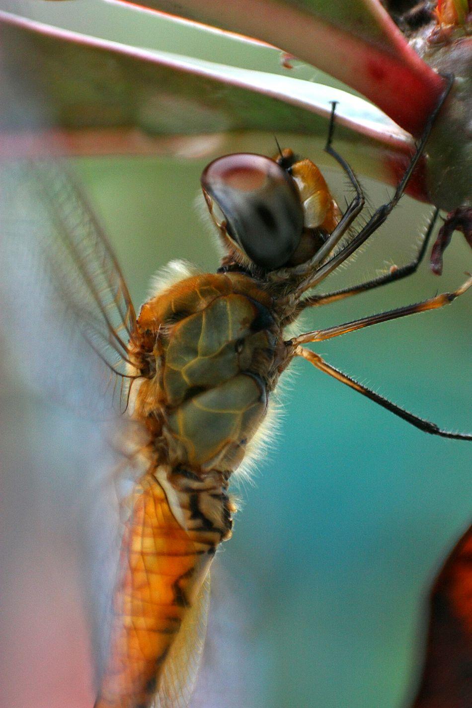 Nature Macro Dragonfly Macro Photography