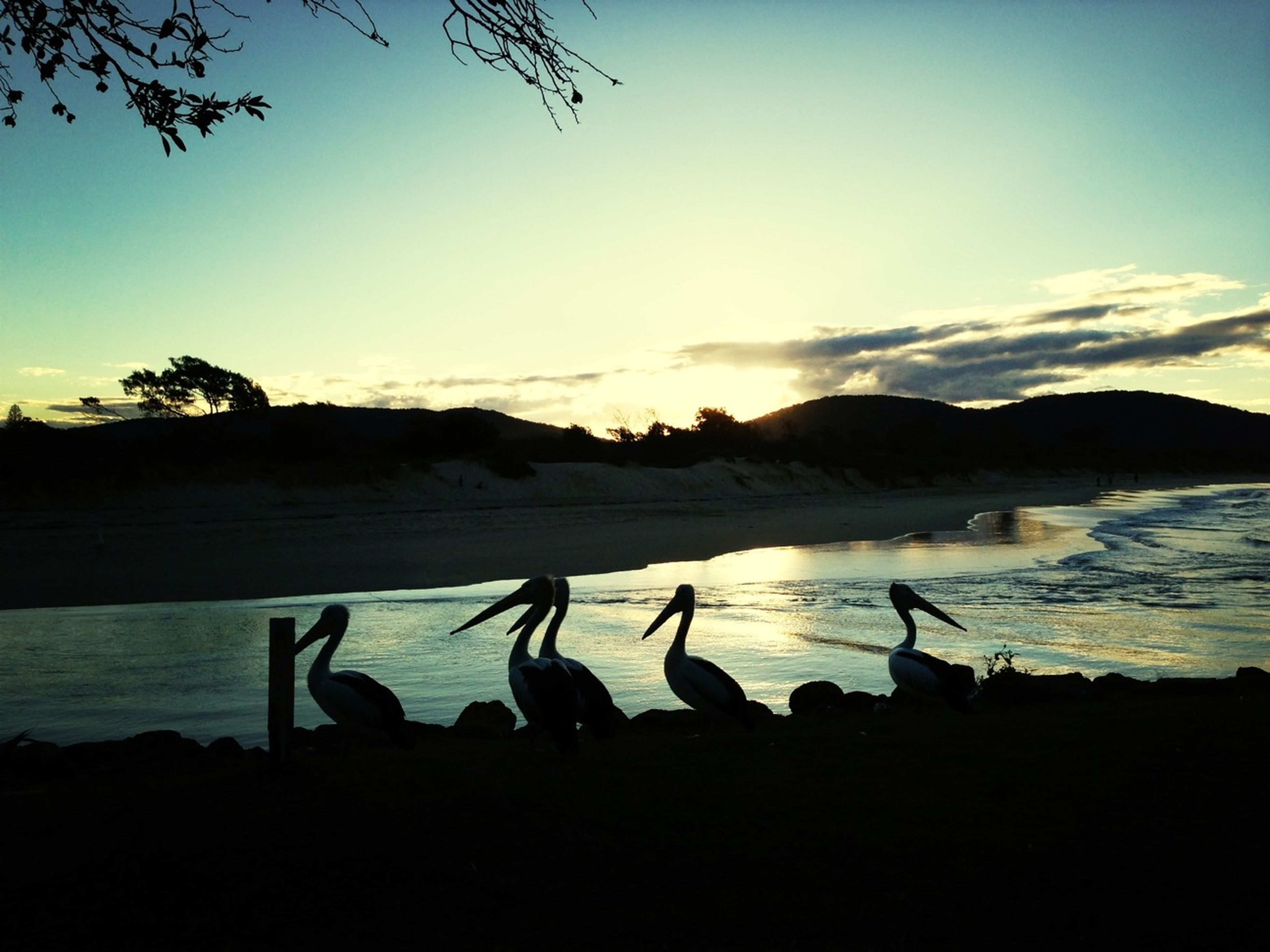 Beach Sunset Pelicans Going Sailing