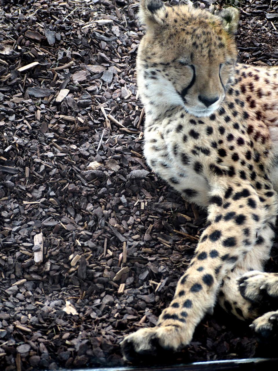 one animal, animal themes, animals in the wild, animal wildlife, day, mammal, feline, lying down, no people, outdoors, safari animals, leopard, nature, cheetah, close-up
