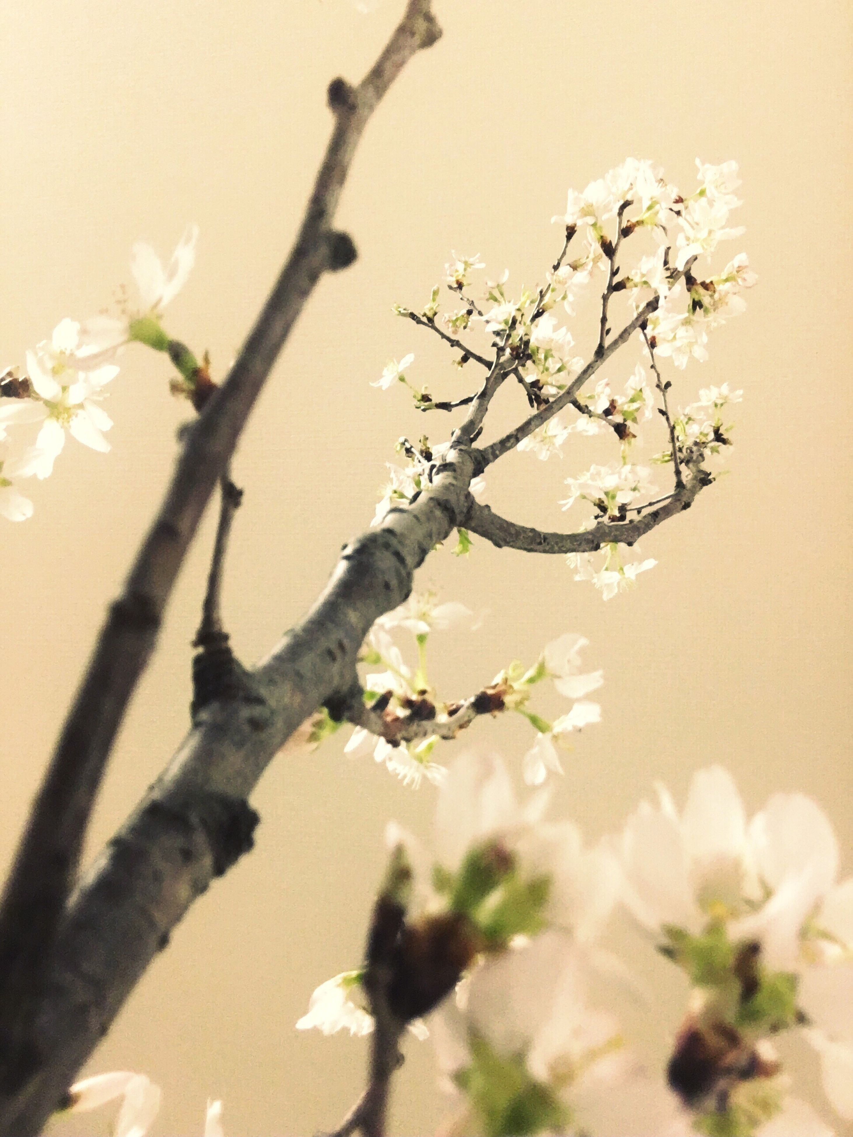 growth, nature, flower, beauty in nature, springtime, tree, blossom, branch, sunlight, no people, plant, fragility, freshness, twig, close-up, sky, outdoors, day, willow tree, flower head