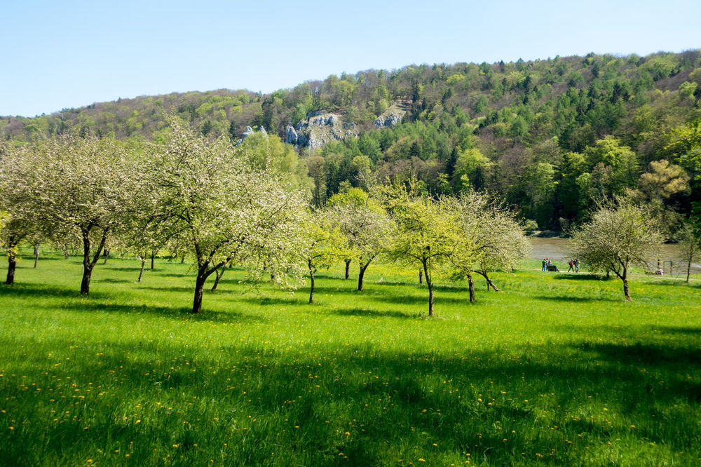 Panoramaweg between Kehlheim and Weltenburg Agriculture Beauty In Nature Branch Chery Blossom Clear Sky Day Donau Donauauen Donautal Field Freshness Fruittrees Grass Green Color Growth Landscape Nature No People Outdoors Scenics Sky Streuobstwiese Tranquil Scene Tranquility Tree