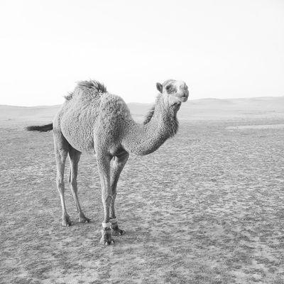 Camel Bebe Bibi Qassim atmosphere clouds cloudy weather 2013 picture march السعودية ksa camera samsung Saudi Arabia twitter march Nature صورة تصويري تصوير السعودية ksa flickr instagram