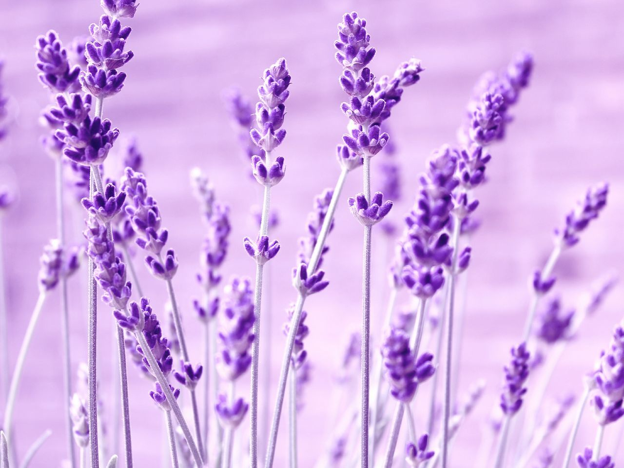 purple, flower, growth, fragility, lavender, nature, plant, beauty in nature, no people, day, outdoors, freshness, close-up, flower head