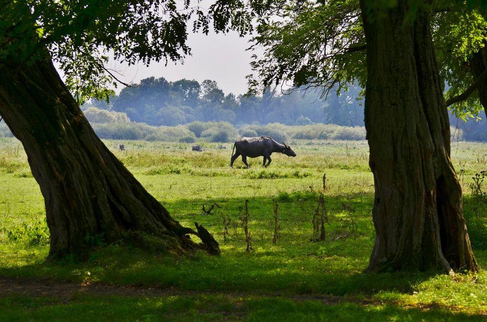 Bison Tree Animal Wildlife Animal Themes Nature Mammal One Animal Animal Animals In The Wild Grass No People Outdoors Day