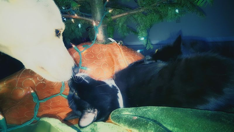 Kisses for puppy! Yesterday the kittens would try to play with the tree all afternoon. Today, they just want to cuddle with it. KimberlyJTilley Lifestyles Leisure Activity