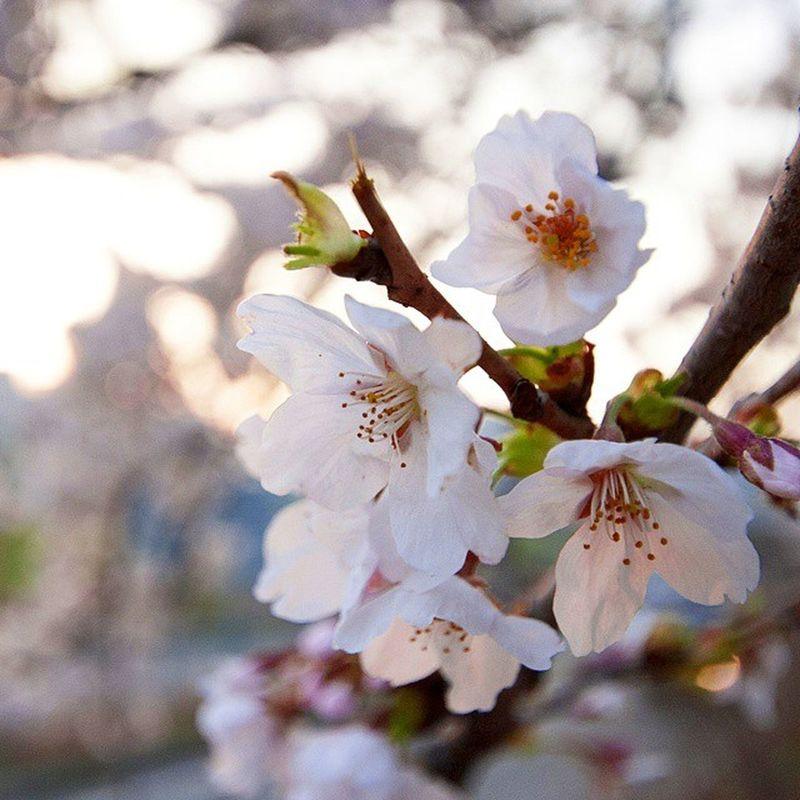 오늘 퇴근하고 여의도 벚꽃을 조금 봤어요 생각보다 추워서 사진은 많이 못찍었네요 어찌나 춥던지 바람이 후덜덜;;; 이번주부터 여의도는 퇴근후 지옥이 될듯ㅋ ☆ 오늘 퇴근 여의도 벚꽃 추워 후덜덜 데일리 꽃스타그램 봄 봄바람 시그마 캐논