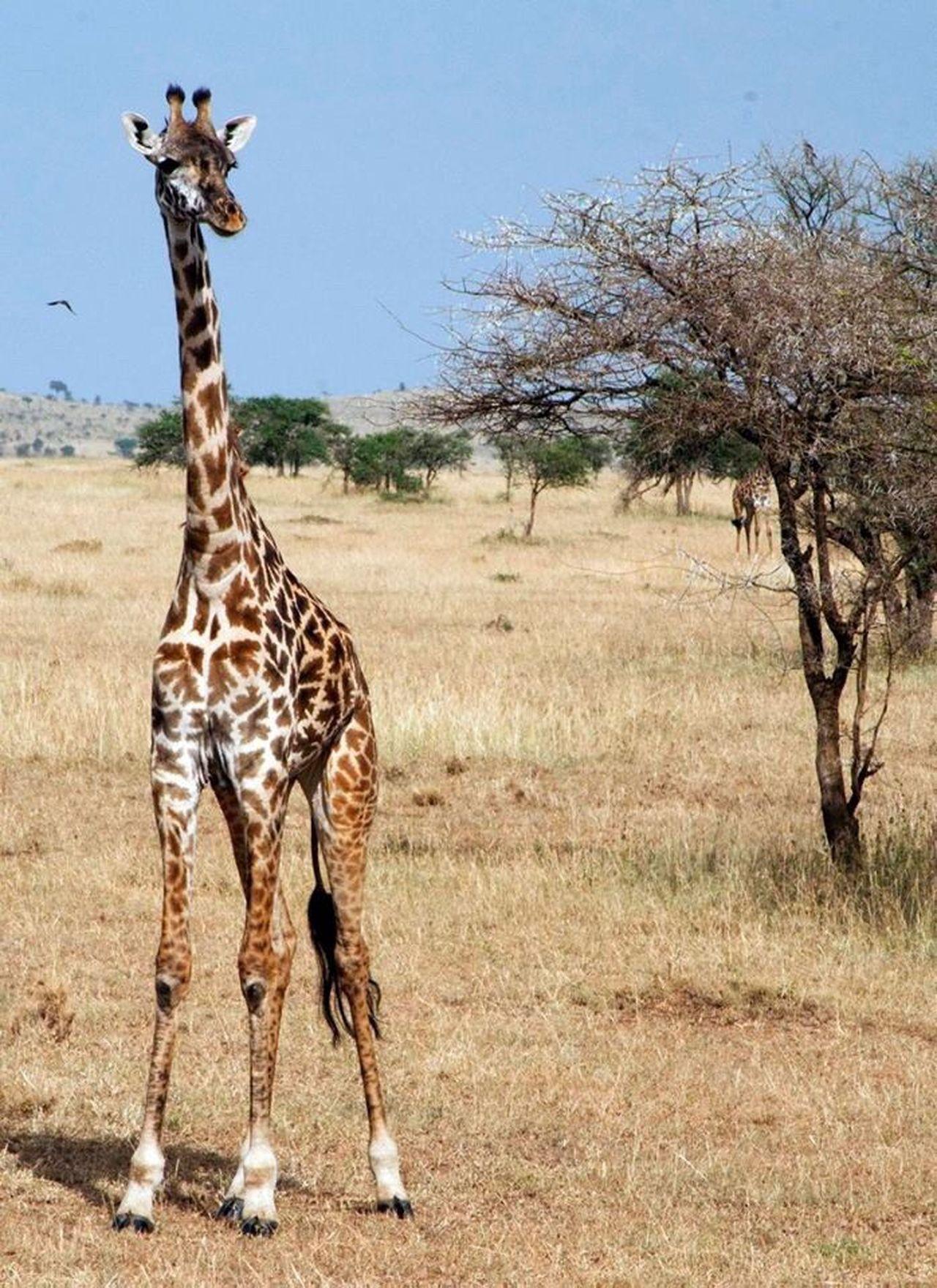 Giraffe Animal Wildlife Serengeti National Park Tansania Africa