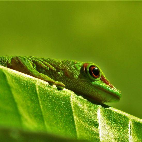 Gecko Lizard Nature Photography Nikon D3200 First Eyeem Photo